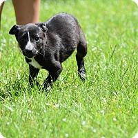 Adopt A Pet :: Pandora - Groton, MA