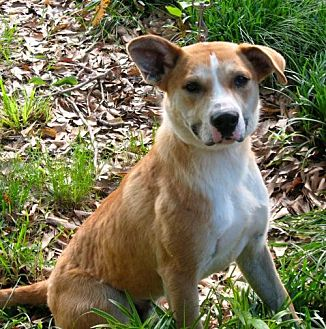 Labrador Retriever Mix Dog for adoption in CARISLE, Pennsylvania - Buddy
