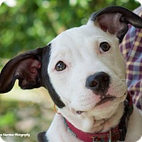 Adopt A Pet :: Polly - Chattanooga, TN