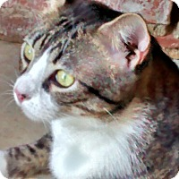 Adopt A Pet :: Otis - One Big Loving Bengal! - Denton, TX