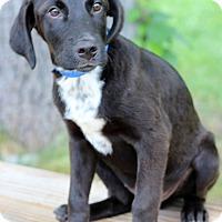 Adopt A Pet :: ChaChi - Waldorf, MD