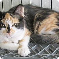 Calico Cat for adoption in Buhl, Idaho - Kloey
