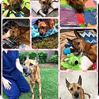 Adopt A Pet :: Thumbelina - Whitestone, NY