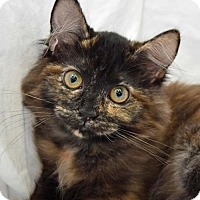 Domestic Longhair Kitten for adoption in Greenfield, Indiana - Evee