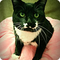 Domestic Shorthair Cat for adoption in Melbourne, Kentucky - Onyx