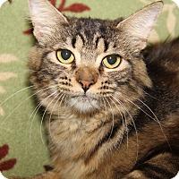 Domestic Mediumhair Cat for adoption in Marietta, Ohio - Duchess (Spayed)