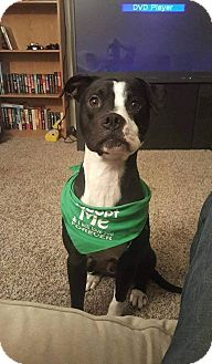 American Pit Bull Terrier Dog for adoption in Roanoke, Virginia - Petey