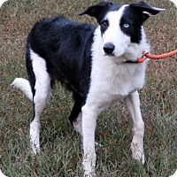 Borzoi/Australian Shepherd Mix Dog for adoption in Brattleboro, Vermont - Wally