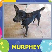 Adopt A Pet :: Murphey - Westport, CT