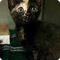 Adopt A Pet :: Kiki - Wantagh, NY