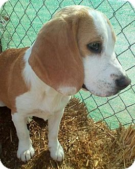 Beagle Puppy for adoption in Apple Valley, California - Palmer-ADOPTED 11/12/16!