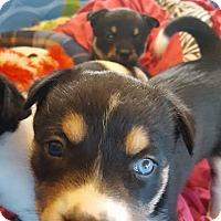 Adopt A Pet :: Betty - Denver, CO
