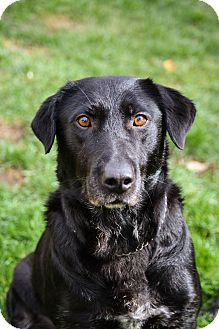 Labrador Retriever/Hound (Unknown Type) Mix Dog for adoption in Billerica, Massachusetts - Bernie
