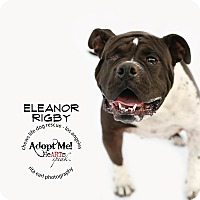 American Bulldog Mix Dog for adoption in Los Angeles, California - Eleanor Rigby
