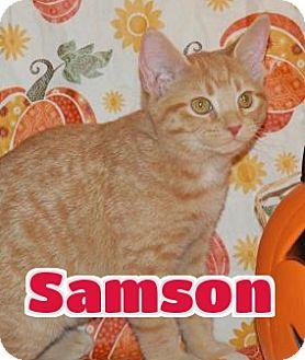 Domestic Shorthair Kitten for adoption in Lawrenceburg, Kentucky - #131 Samson