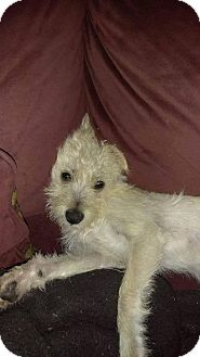 Terrier (Unknown Type, Medium) Dog for adoption in Custer, Washington - Lana
