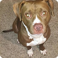 American Pit Bull Terrier/American Staffordshire Terrier Mix Dog for adoption in Lowell, Indiana - Caper