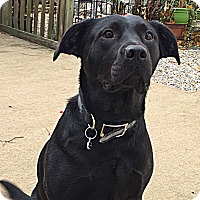 Labrador Retriever/Pit Bull Terrier Mix Dog for adoption in Toms River, New Jersey - Cole