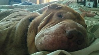 Shar Pei Dog for adoption in Houston, Texas - Bella