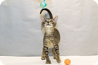 Domestic Shorthair Kitten for adoption in Houston, Texas - Gwenivere