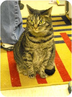 Domestic Shorthair Cat for adoption in Mission, British Columbia - Foxy Roxy