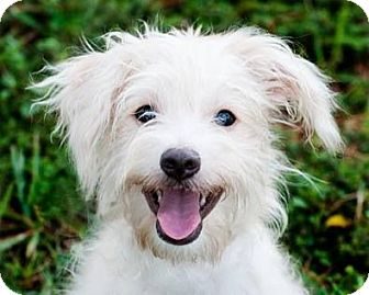 Maltese/Poodle (Miniature) Mix Puppy for adoption in Houston, Texas - Ozzy