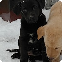 Adopt A Pet :: Puppies!! - Hamilton, ON