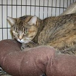 Photo 2 - Domestic Shorthair Cat for adoption in Milwaukee, Wisconsin - Sara