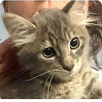 Adopt A Pet :: Gene - Springdale, AR