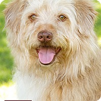 Adopt A Pet :: Ozzy - Marina del Rey, CA