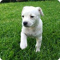 Adopt A Pet :: Ollie - La Habra Heights, CA
