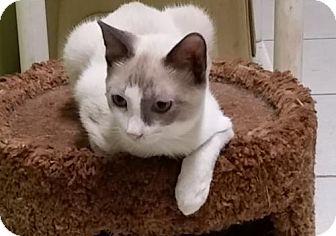Siamese Cat for adoption in St John, Virgin Islands - Chip