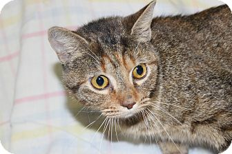 Domestic Shorthair Cat for adoption in Danville, Illinois - GINGER