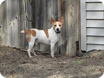 Jack Russell Terrier Mix Dog for adoption in Red Wing, Minnesota - Harry Houdini