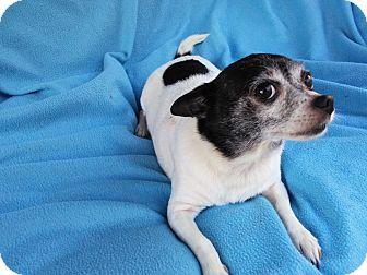 Chihuahua Dog for adoption in Lansing, Michigan - Missy Dot