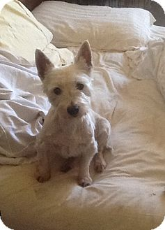 Westie, West Highland White Terrier Dog for adoption in Rye, New Hampshire - Frosty Joe