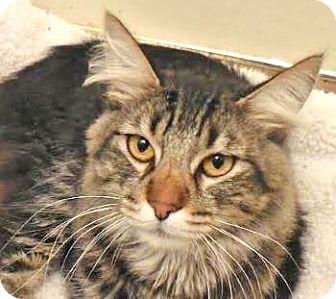 Manx Cat for adoption in Davis, California - Manxer