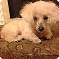 Adopt A Pet :: Gabby: Affectionate! (AL) - Seymour, CT