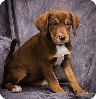 Caramel Adopted Puppy Anna Il Labrador Retriever Mix