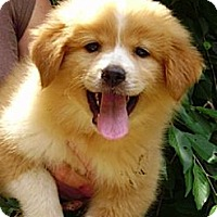 Adopt A Pet :: Brownie Bear - Staunton, VA