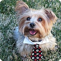 Adopt A Pet :: Peanut (Mr. P) - Goodyear, AZ