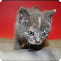 Adopt A Pet :: OKSANA - SILVER SPRING, MD