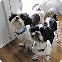 Adopt A Pet :: *The Boys - PENDING - Westport, CT