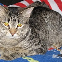 Adopt A Pet :: Tiger Lil - Stanhope, NJ