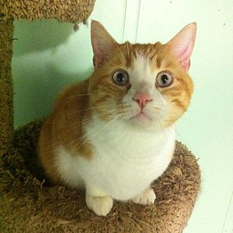 Domestic Shorthair Cat for adoption in Audubon, New Jersey - LJ