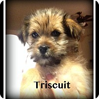 Adopt A Pet :: Triscuit - Indian Trail, NC