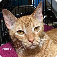 Adopt A Pet :: Frito Pete - Sacramento, CA
