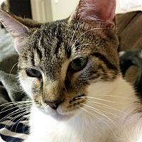 Adopt A Pet :: Stormy - Arlington/Ft Worth, TX