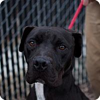 Adopt A Pet :: Champ - Queenstown, MD