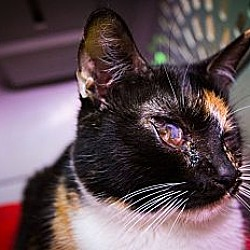 Photo 2 - Calico Cat for adoption in Chandler, Arizona - Mia Mia